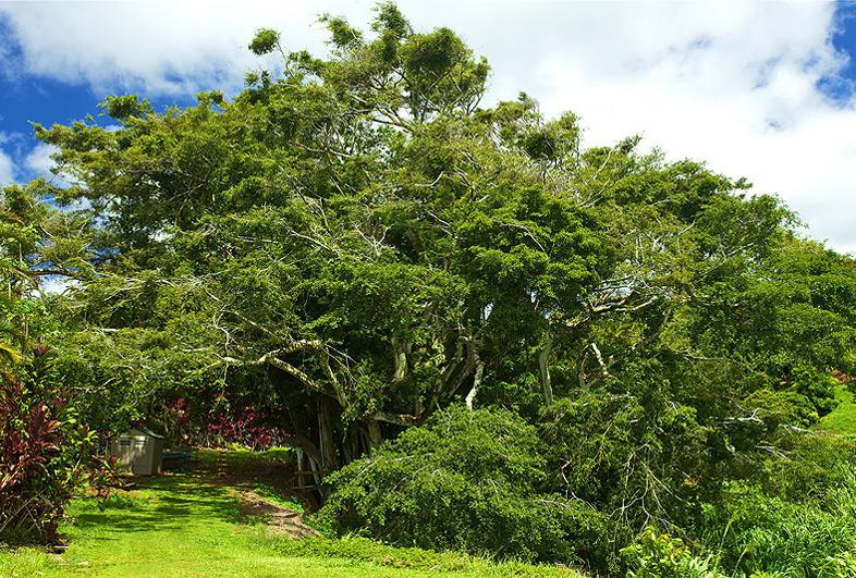 Kauai Banyan Tree