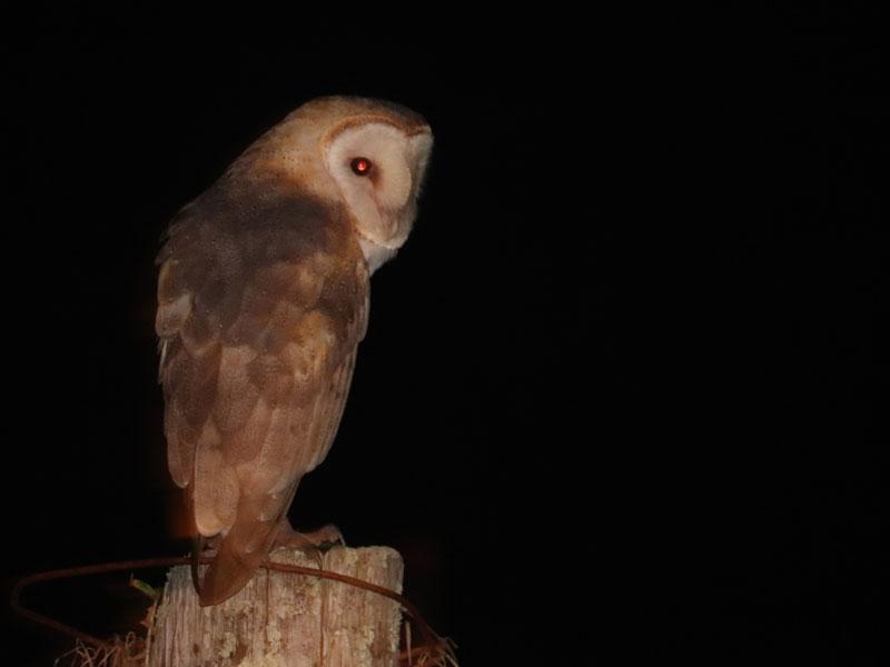 Pueo, Hawaiian Owl at Kauai Banyan Inn